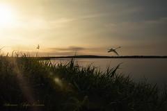 Achterwasser (Plattner Rene´) Tags: see meckburgvorpommern beautiful welt ruhe träumerei stille zauberei universum usedom outdoor insel krummin sonnenaufgang spiegelung dreamwold fantasie gras himmel landschaft licht natur