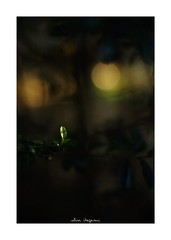 2018/11/24 - 11/18 photo by shin ikegami. - SONY ILCE‑7M2 / Lomography New Jupiter 3+ 1.5/50 L39/M (shin ikegami) Tags: マクロ macro 井の頭公園 吉祥寺 autumn 秋 sony ilce7m2 sonyilce7m2 a7ii 50mm lomography lomoartlens newjupiter3 tokyo sonycamera photo photographer 単焦点 iso800 ndfilter light shadow 自然 nature 玉ボケ bokeh depthoffield naturephotography art photography japan earth asia