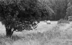 Harvest time (Elias. K) Tags: sweden scenery sverige summer scandinavia tree trees nature landscape västragötaland animal horse background bw black white blackwhite leaf plant