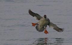 Harle bièvre (F) - IMG_4807 (6franc6) Tags: amerrissage explore 6franc6 2019 vaud nyon suisse hiver lac léman ornithoch