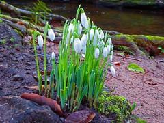 Snowdrops in the Glen (g crawford) Tags: westkilbride glen kirktonhallglen kirktonhall ayrshire northayrshire crawford flower flowers plant plants snowdrops white bulb bulbs