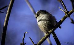 Long-tailed tit (vickyouten) Tags: longtailedtit nature wildlife britishwildlife wildlifephotography nikon nikond7200 nikonphotography sigma sigma150600mm penningtonflash leigh uk vickyouten