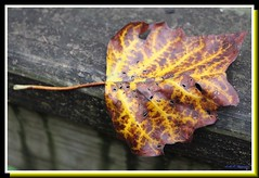 Tulip Tree Leaf (PhotoJester40) Tags: outdoors outside leaf fall decayingslowly decaying colorful pretty amdphotographer tuliptreeleaf