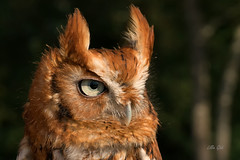 Eastern Screech Owl, red phase (misspt76) Tags: owls screech wildlife