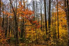 Westbrook Park_4598 (smack53) Tags: smack53 westbrook westbrookpark westmilford newjersey trees forest autumn autumnseason autumncolors fall fallseason fallcolors foliage colorful nikon d100 nikond100
