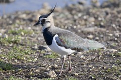 Lapwing2 (only1malcolmfisher) Tags: lapwing slimbridge