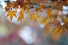 Maple (Mah Nava) Tags: japanesemaple maple ahorn