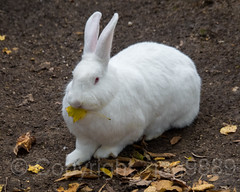 Bunny, Tisch Children's Zoo, Central Park, New York City (jag9889) Tags: 2018 20181112 bunny cp centralpark centralparkzoo hare landmark leaf manhattan ny nyc nycparks newyork newyorkcity outdoor park rabbit usa unitedstates unitedstatesofamerica zoo jag9889 tischchildrenszoo