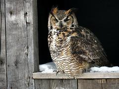 Oliver Great Horned Owl CRC IMG_2774 (Jennz World) Tags: ©jennifermlivick canadianraptorconservancy vittoria ontario canada greathornedowl owl bird raptor snow winter