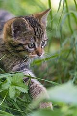 Walking in the grass (Tambako the Jaguar) Tags: wildcat feline young baby cute portrait face walking grass tierpark goldau switzerland nikon d5