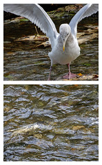 Glaucous winged gull at Goldstream river