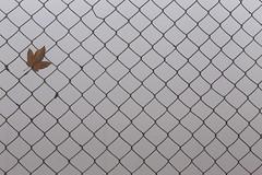 Winter Is One Leaf Away (K M V) Tags: fence aita net web verkko verkkoaita nät netz leaf lehti vaahteranlehti mapleleaf lönn löv feuille feuillemorte autumnleaf stuck drop pisara goutte blatt blad lönnblad erable gray grey gris grau harmaa grigio brown braun ruskea brun fog nebbia sumu dimma nebel brouillard