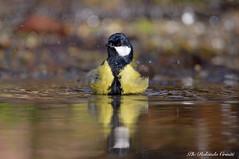 Cinciallegra _007 (Rolando CRINITI) Tags: cinciarella uccelli uccello birds ornitologia avifauna castellettomerli natura