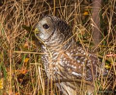 Barred Owl (bbatley) Tags: owl bird wildlife barredowl feeding snake