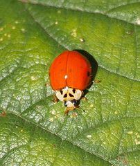 2018_10_0372 (petermit2) Tags: ladybird pottericcarr potteric doncaster southyorkshire yorkshire yorkshirewildlifetrust wildlifetrust ywt