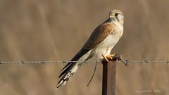 Nankeen Kestrel (Falco cenchroides) (Ian Colley Photography) Tags: nankeenkestrel falcocenchroides bird yetman newsouthwales australia canoneos7d ef500mmf4lisusm 14extender