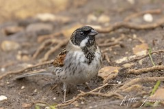 Reed Bunting (Male) (Emberiza Schoeniclus) (PhasmatosOculus) Tags: march 2019 march2019 bird birds rivernene barnwellcountrypark barnwellpark barnwell country park northamptonshire wildlifeanimal wildlife animal animals wildlifeanimals matthewfarrugia matthew farrugia centricmalteser canon7dmkii canon 7d mkii eos7dmkii canoneos7dmkii eos canoneos eastanglia 7dmkii phasmatosoculus reedbunting emberizaschoeniclus reed bunting emberiza schoeniclus