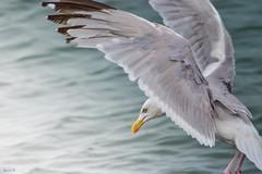 Ready - 6293 (ΨᗩSᗰIᘉᗴ HᗴᘉS +44 000 000 thx) Tags: bird oiseau fly ailes water seagull mouette nature hens yasmine namur belgium europa aaa namuroise photo friends be yasminehens interest eu fr lanamuroise