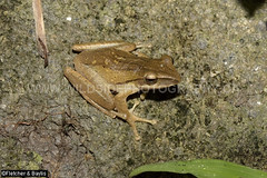 41833 Four-lined Tree frog (Polypedates leucomystax) at night , Perak, Malaysia. IUCN=Least Concern. (K Fletcher & D Baylis) Tags: animal wildlife fauna amphibian frog treefrog rhacophoridae fourlinedtreefrog commontreefrog whitelippedtreefrog polypedatesleucomystax leastconcern arboreal night perak malaysia asia december2018