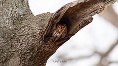 Eastern Screech Owl - Megascops asio | 2019 - 1 (RGL_Photography) Tags: birding birds birdsofprey birdwatching easternscreechowl gardenstate jerseyshore megascopsasio mothernature nature newjersey nikonafs600mmf4gedvr nikond5 oceancounty ornithology owls raptors rufousmorph us unitedstates wildlife wildlifephotography ©2019rglphotography