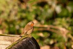Woodland Robin (Adam Swaine) Tags: robinredbreast robin birds britishbirds englishbirds gardenbirds wildlife animals nature rspb england ruralkent rural english beautiful canon uk ukcounties naturewatcher 2019