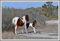 TB7_5024 susie sole and foal with frame (tbullipoo) Tags: assateague pony foal