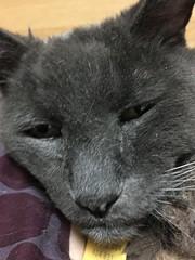 """You awakened me for a stupid picture?"" (sjrankin) Tags: 16march2019 edited closeup animal cat bonkers blurry bed bedroom pillows tunic kitahiroshima hokkaido japan groggy sleepy"