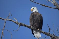 Bald eagle ( Haliaeetus leucocephalus) (rangerbatt) Tags: baldeagle haliaeetusleucocephalus eagle d7500 sigma150600mmsports utahwildlife bird jordanriver wildutah