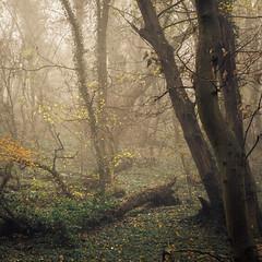 Fade to gray (Netsrak) Tags: baum bäume eifel europa europe forst herbst landschaft natur nebel rheinland rhineland wald autumn fall fog forest landscape mist nature tree trees woods