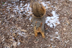 Fox Squirrels in Ann Arbor at the University of Michigan - January 11th, 2019 (cseeman) Tags: gobluesquirrels squirrels foxsquirrels easternfoxsquirrels michiganfoxsquirrels universityofmichiganfoxsquirrels annarbor michigan animal campus universityofmichigan umsquirrels01112019 winter eating peanuts acorns januaryumsquirrel