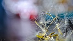 Fragility - 6372 (ΨᗩSᗰIᘉᗴ HᗴᘉS +38 000 000 thx) Tags: dandelion water macro bokeh fragilité fragility fuji fujifilmgfx50s fujifilm drop belgium europa aaa namuroise look photo friends be wow yasminehens interest eu fr greatphotographers lanamuroise flickering