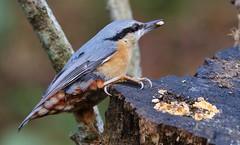 Nuthatch - Upton CP Dorset -140119 (1) (Ann Collier Wildlife & General Photographer) Tags: nuthatch uptoncountrypark pooleharbour poole dorset dorsetwildlife birds bird wildlife