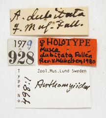Musca dubitata Fallén, 1825 (Biological Museum, Lund University: Entomology) Tags: fallén diptera anthomyiidae musca dubitata hydrophoria lancifer mzlutype00498 taxonomy:binomial=muscadubitata