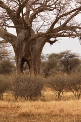 baobab tree (sr667) Tags: kwakuchiniatanzania kwakuchinia tanzania baobabtree adansonia angiosperms plantae eudicots rosids malvales malvaceae bombacoideae baobabs trees tree explored tarangirenationalpark canoneos7d canon 150500mmf563apodgos 150500mm africa tz sigma