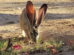 Desert visitor (thomasgorman1) Tags: rabbit jackrabbit visitor desert ground wildlife canon baja mexico closeup animal ears nature mammal