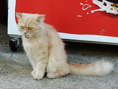 TMY_0556 (Бесплатный фотобанк) Tags: старыйбар кот старыйгород бар черногория рыжий