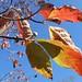 dogwood leaves and flower buds against the November sky