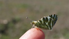 Euchloe belemia (J Carrasco (mundele)) Tags: valdemoro cdemadrid insectos mariposas rhopalocera papilionoidea pieridae pierinae anthocharini euchloe