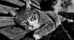 Playful cat (Zèè) Tags: cat chat cats black bw blackandwhite blanc white noir noirblanc monochrome tabby sparkey