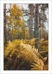 The forest in autumn (G. Postlethwaite esq.) Tags: derbyshire nationalforest robinwood autumn bracken ferns landscape outdoor photoborder trees wood