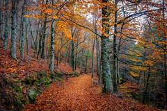 Orange carpet (Artur Tomaz Photography) Tags: gouveia leafs serradaestrela yellow autumn colors faias forest igreja manteigas orange outono trees wood