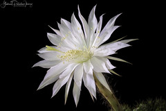 Night bloomer (Gabriel Paladino Photography) Tags: lobiviopsiscalochlora gabrielpaladino canon eos detalle magnoliophyta magnoliopsida caryophyllidae caryophyllales cactoideae trichocereeae beautiful beauty exotic planta echinocactus eyriesii cereus turbinatus turbinata pudantii oxygona raspipallokaktus vanhapoika coleccionista collector echinopsis flor flower collection coleccion cactus cacti suculentas crasas cactaceae cactácea floracion flowers plants blackbackground background blackground 77d 9000d 100mm macro succulent plantae calochlora