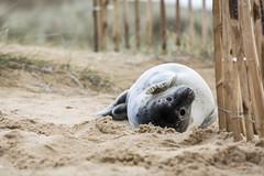 Seal (Tris1972 (tmorphewimages.co.uk)) Tags: seal pup sealpup horsey norfolk nature wildlife seaside sand winter eastanglia northsea
