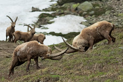 La sfida (marypink) Tags: parconazionalegranparadiso ceresolereale valledeipittori piemonte alpineibex capraibex stambecco mammalia arctiodactyla bovidae caprinae nikond500 nikkor80400mmf4556