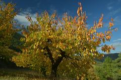 Cerisiers de Peyrelade (Michel Seguret Thanks for 13.6 M views !!!) Tags: france automne autumn fall michelseguret nikon d800 pro aveyron
