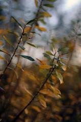 evening walk (Frau Koriander) Tags: light autumn fall herbst nikkorscauto5512 f12 nature natur nikond300s darmstadt hessen germany deutschland blätter leaf leaves blatt strauch dof depthoffield