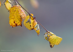 _D552493 (De Hollena) Tags: autumn autumnleaves avellano corylusavellana coudrier fall feuille hasel hazel hazelaar herbst herfst herfstblad herfstkleuren leaf noisetier otoño
