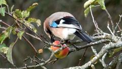 An apple a day... (ursula.valtiner) Tags: eichelhäher jay apfel apple vogel bird