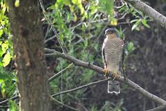 "Sparrowhawk ""Accipiter nisus"" (Kay Musk) Tags: sparrowhawk accipiternisus bird birdofprey wildlife wild nature nikond3200 2018 autumn ngc"
