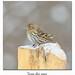 Tarin des pins / Pine Siskin 153A3547 (salmo52) Tags: oiseaux birds salmo52 alaincharette tarindespins pinesiskin victoriaville réservoirbeaudet spinuspinus passériformes fringillidés fringillidae
